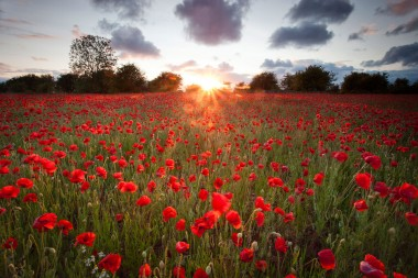 Poppy-field-rotherham